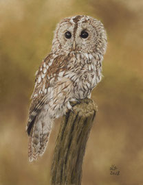 tawny owl, pastel on pastelmat, 23 x 31 cm, reference photo Sue Dudley / Wildlife reference photos