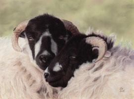sheeps, pastel on pastelmat, 27 x 37 cm, reference photo www.wildlifereferencephotos.com; SOLD