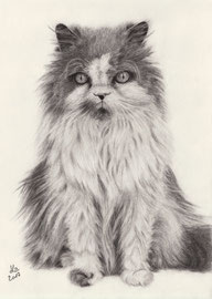 """Kasper"", persian crossbreed, charcoal, 30 x 40 cm, commission"