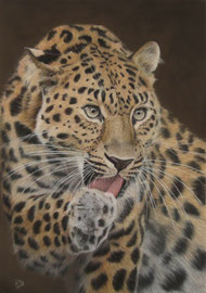 """Amurleopard"", pastel on pastelmat,  41 x 59 cm, reference photo Natasha Jefferies, wildlife reference photos; SOLD"