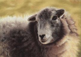 sheep, pastel on pastelmat, 27 x 38 cm, reference photo Gary Jones; SOLD