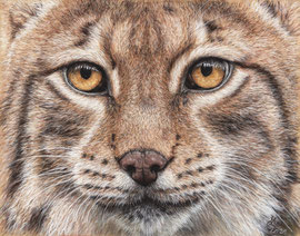 Face of the lynx, pastel on pastelmat, 20 x 27 cm, reference photo Emmanuel Keller, wildlifereferencephotos