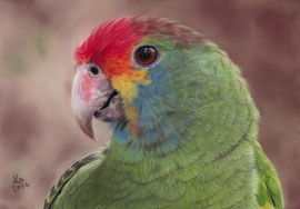 red-browed Amazon (Amazona rhodocorytha), pastel on pastelmat, 20 x 29 cm, reference photo Fabiane Girardi (ABUN)