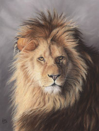 """""""The king"""", lion, pastel on pastelmat,  30 x 40 cm, reference photo John de Greef, wildlife reference photos; SOLD"""