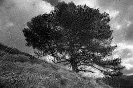 The pine (Puig Roig, Mallorca, Spain. 2019)