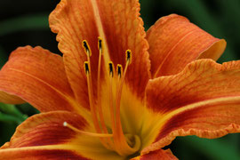 Taglilie (Hemerocallis-Hybride)