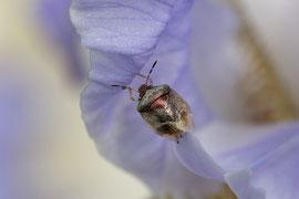 Schillerwanze (Eysarcoris venustissimus)