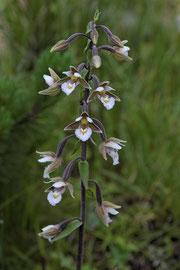 Sumpf-Stendelwurz (Epipactis palustris)