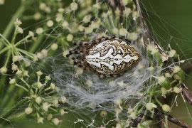Eichblatt-Radspinne (Aculepeira ceropegia)