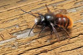 Gehörnte Mauerbiene (Osmia cornuta)
