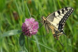 Schwalbenschwanz (Papillo machaon)