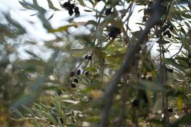 Impressionen Toskana - Oliven