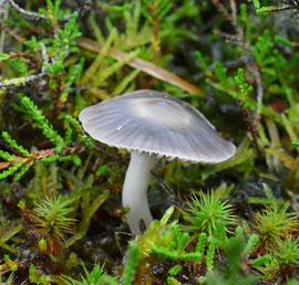 Violetgrijze wasplaat - Hygrocybe lacmus (zeldzaam)