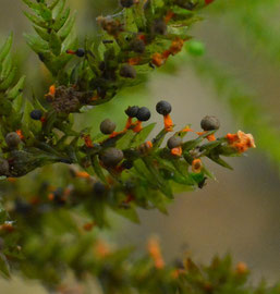 Oranjesteelkalkkopje (zeer zeldzaam)