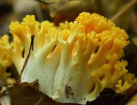 Goudgele koraalzwam - Ramaria aurea (zeer zeldzaam)
