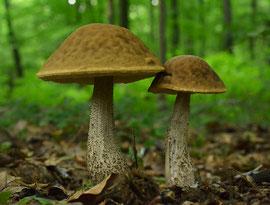 Haagbeukboleet - Leccinum griseum  (Duitsland)