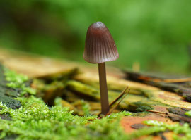 Purperbruine mycena