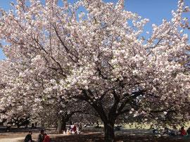 Cherryblossom Tree at Shinjuku Gyoen Park
