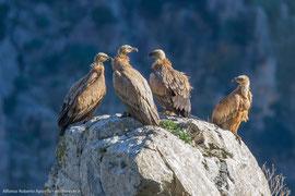 Grifoni - Parco Nazionale del Pollino