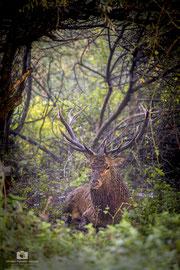 Un grosso maschio a riposo durante il giorno nel fitto del bosco