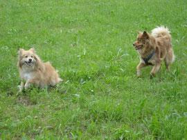 zwei Lapphund-Mädchen