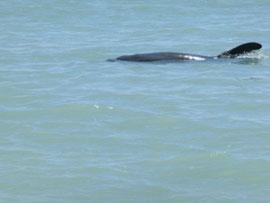 Delphine vor Sanibel Island