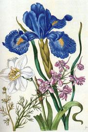 Iris, Kupferstich von Sybilla Merian