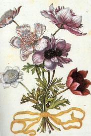 Anemone, Kupferstich von Sibylla Merian