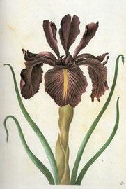 Lilie, Kupferstich von Sybilla Merian