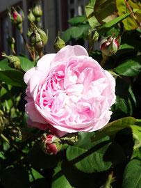 Rose (Mai 2020)