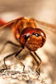 Heidelibelle               Tamron 90 mm Macro