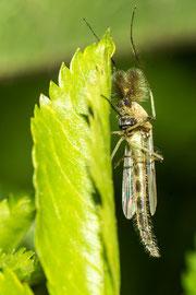 Zuckmücke          Tamron 90 mm Macro