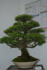 Les bonsaïs de M. Duthil ont fait sensation dans les locaux du Crédit Agricole.