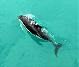 Bucketliste-delfin-freier-wildbahn-kaikoura