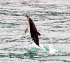 bucketliste-delfin-kaikoura-freier-wildbahn