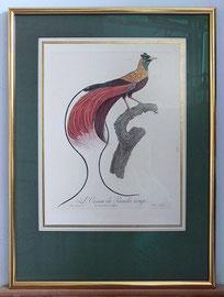 "D-3 ""L`Oiseau de Paradise rouge"" - Farbkupferstich mit Retusche, gestochen von Jacques Louis P e r é e  Paris um 1805; gerahmt in einem handpolierten Blattgoldrahmen, 23 Karat, im Passepartout mit Zierlinien, Museumsglas; Außen 57 x 42 cm, 570,-- E"