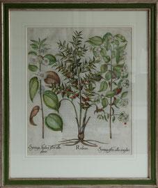 D-13 Altkolorierter Kuperstich   von Basilius B e s l e r anno 1613 aus Hortus Eystettensis, aufwendig und klassisch gerahmt,   Aussengrösse = 71 x 61 cm,    740,-- EUR