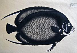 D-1 Der schwarze Klippfisch; altkolorierter Kupferstich mit Radierung, in der Platte signiert: Printz, Moritz del, Ludewig Schmidt sculps. Monogramm oben links; ca. anno 1800; Plattenrand: 20 x 34 cm, im Passepartout 35,5 x 47,5 cm; Preis: 125,-- EUR