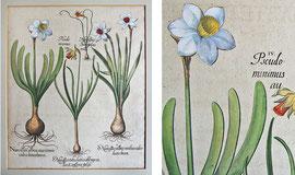 """D-7 Narcissus albus maximus - vier Narzissendarstellungen auf einem Blatt; Kupferstich aus """"Hortus Eystettensis"""" (der Garten von Eichstätt), erschienen zu Nürnberg anno 1613, altkoloriert; Plattengröße ca. 49 x 40,5 cm; Preis: 1400,-- EUR"""