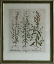 D-14 Altkolorierter Kuperstich   von Basilius B e s l e r anno 1613 aus Hortus Eystettensis, aufwendig und klassisch gerahmt,   Aussengrösse = 71 x 61 cm,    740,-- EUR