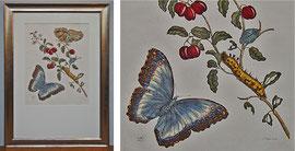 D-11 Blumen und Schmetterlinge- altkolorierter Kupferstich von P. Sluiter nach Maria Sibylla M e r i a n, Abzug des späten 19. Jahrhunderts; Weißgoldrahmen (Polimentvergoldung) mit Museumsglas; Bildgröße 67,5x48 cm; Preis: 670,-- EUR