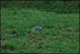 Pigeon ramier Viessoix le 12/04/2009
