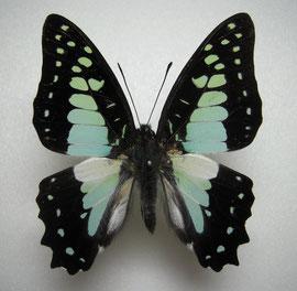 Graphium procles キナバルミカドアゲハ ♂表