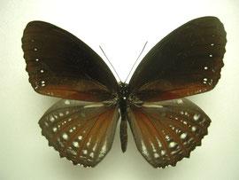 Elymnias pellucida ペルキダルリモンジャノメ ♂表