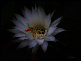 Schwebfliege an Kaktusblüte