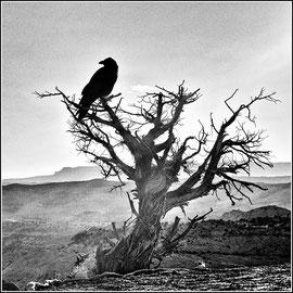 Usa  le corbeau Edition limitée 2/20