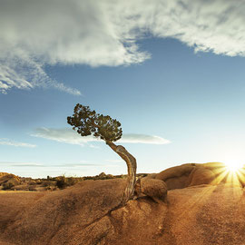 tree in Joshua Tree