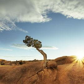 tree in Joshua Tree