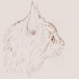 デッサン画『猫(メインクーン)』