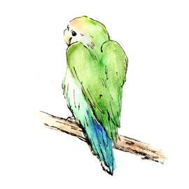 コザクラインコ(シーグリーン)の水彩イラスト(墨・顔彩)